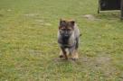 výcvik policejních psů